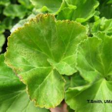 "Geranium foliage with ""bronze speckle"" symptoms due to low medium pH"