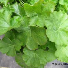 """Bronze speckle"" symptoms on geranium foliage due to low medium pH"