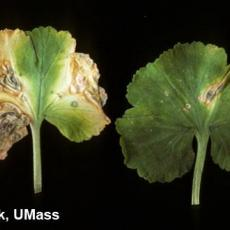 Bacterial leaf spot on geranium caused by Pseudomonas syringae