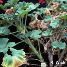 Ralstonia solanacearum on geranium