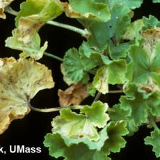 Xanthomonas on geranium