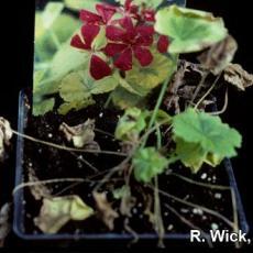 Xanthomonas on geranium