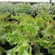 Guardian plant for lettuce