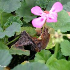 Botrytis - Promoted by flowers dropping from hanging baskets