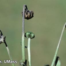 Chrysanthemum – Bacterial Blight (Pseudomonas cichorii)