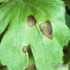 Chrysanthemum – Bacterial leaf spot (Pseudomonas cichorii)