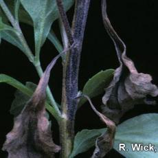 Chrysanthemum – Bacterial Stem Canker (Pseudomonas cichorii)