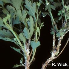 Chrysanthemum – Rhizopus blight