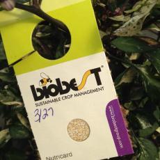 Moth eggs (sterile) for Orius nutrition on pepper banker plants