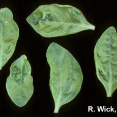 Petunia – Tobacco Mosaic Virus
