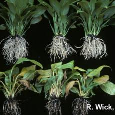 Spathiphyllum – Root rot (Phytophthora)