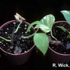 Pothos – Phytophthora crown rot
