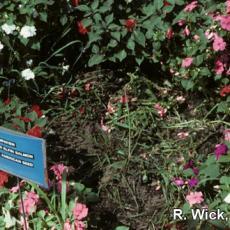 Impatiens (Landscape) – Rhizoctonia crown rot