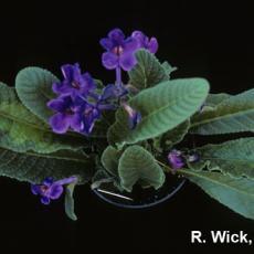 Streptocarpus – Impatiens necrotic spot virus (INSV)