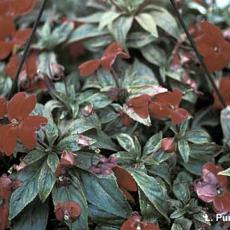 Mites – Spider mite feeding injury on New Guinea impatiens