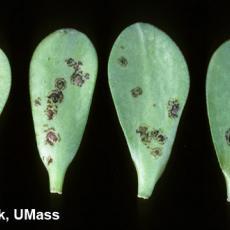 Jade plant – Tomato Spotted Wilt Virus (TSWV)