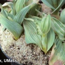 Tulip - Virus