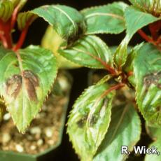 New Guinea Impatiens – Impatiens Necrotic Spot Virus (INSV)