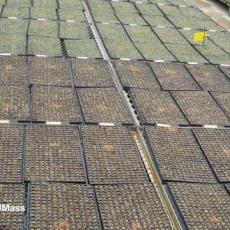 Predatory Mite Breeding Piles in Flats