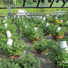 Biological Control: Using paper cups to protect predatory mites