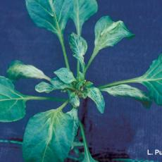 Mites - Broad mite damage on pepper
