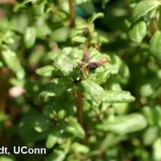 Broad mite injury on portulaca