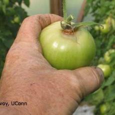 Botrytis - greenhouse tomato (ghost spot)