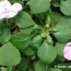 Mites – Broad mite feeding injury on garden impatiens
