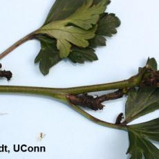 Cyclamen mite injury on larkspur