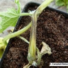Stem canker on greenhouse cucumber caused by Botrytis