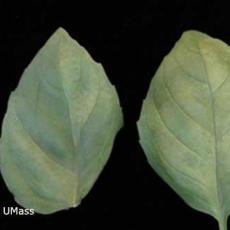 Downy mildew - Basil