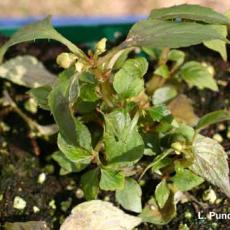 Downy mildew - Impatiens