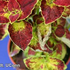 Downy mildew on Coleus