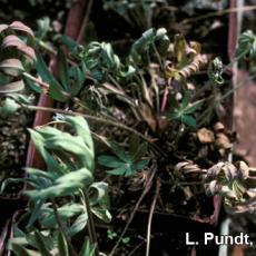 Fungus gnat larvae damage on Lupine