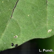 Flea beetles and damage