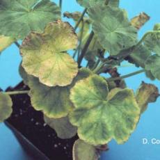 Iron and manganese toxicity on geranium