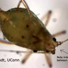 Green Peach Aphid Identification