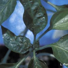 Aphids – Green peach aphids on pepper
