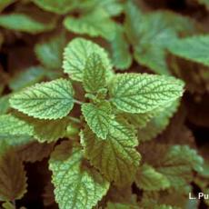 Mites – Spider mite feeding injury on lemon balm