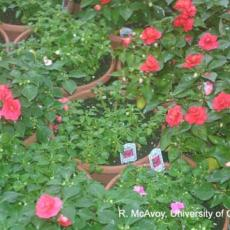 Plant Growth Regulators - Overdose on Impatiens