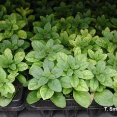Iron deficiency on petunia