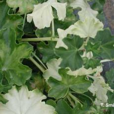 Heat injury (or hot air injury) on ivy geranium