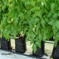 Leaf Mold (Fulvia fulva) on Greenhouse Tomato