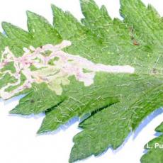 Leafminer – feeding injury by larva (leaf mines) on poppy (Papaver)