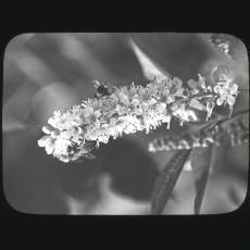 Clethra alnifolia, honeybees