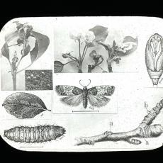Tmetocera ocellana Bud Moth