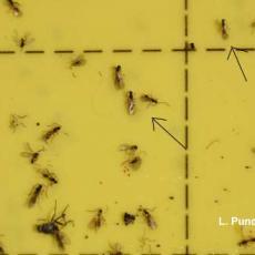 Parasitic Wasp of Fungus Gnats - Synacra pauperi