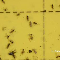Fungus gnat parasites on sticky card