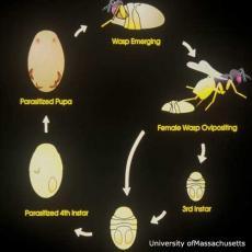 Parasitic Wasp Life Cycle