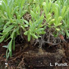 Improper planting